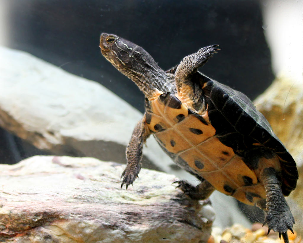 Chinese roodkeelschildpad